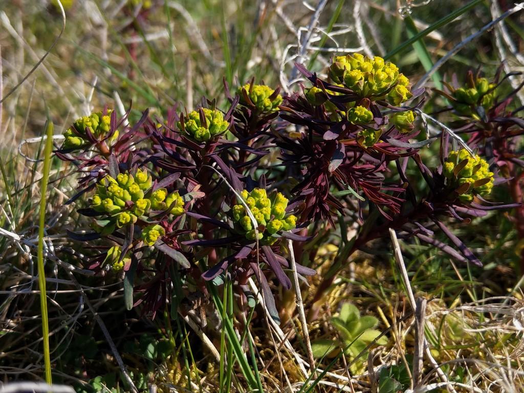 Wolfsmilchgewächse (Euphorbiaceae) - alle Nichtsukkulenten - Seite 3 Imag2249
