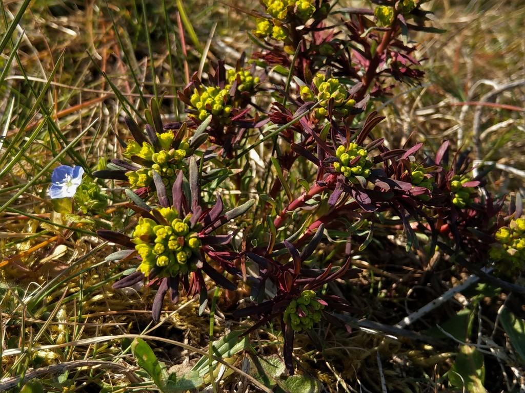 Wolfsmilchgewächse (Euphorbiaceae) - alle Nichtsukkulenten - Seite 3 Imag2318