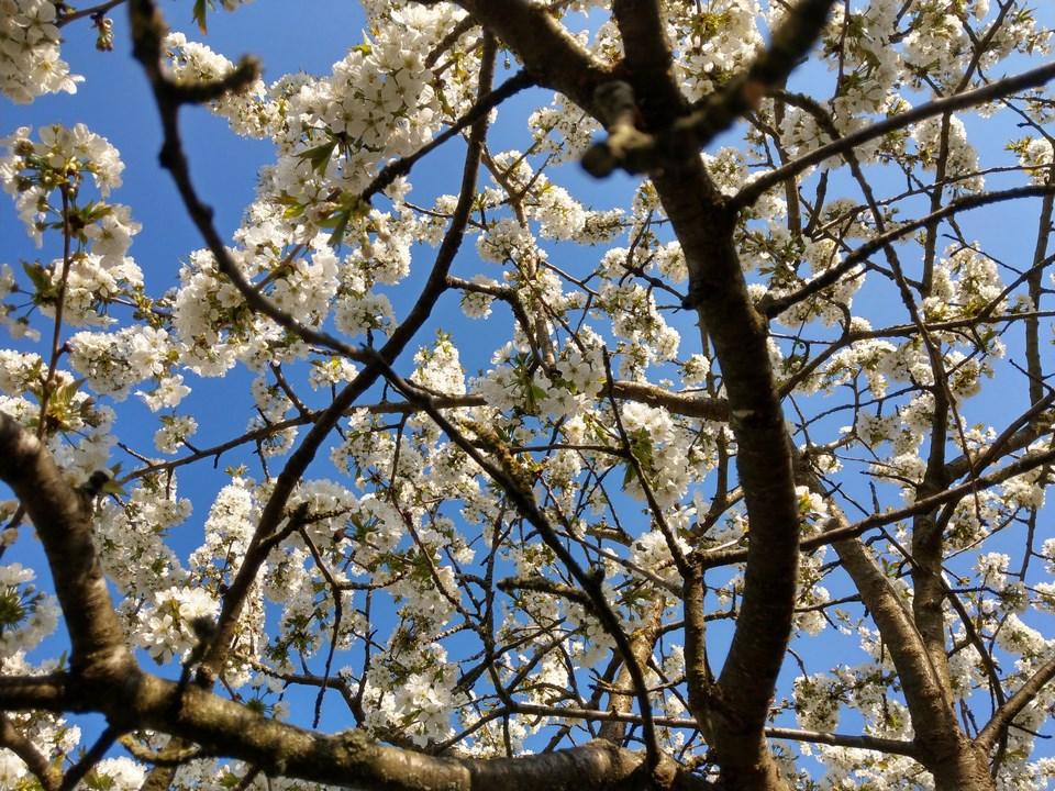 Was für Obstsorten habt Ihr denn im Garten? Aussaat, Spalier, Beerensträucher, Erfahrung und Hilfe :) - Seite 17 Imag4110