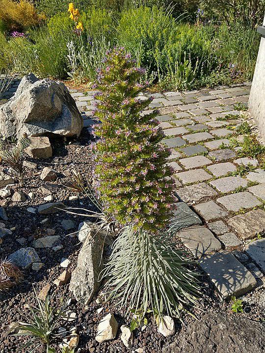 Echium wildpretii - Seite 14 Imag6020