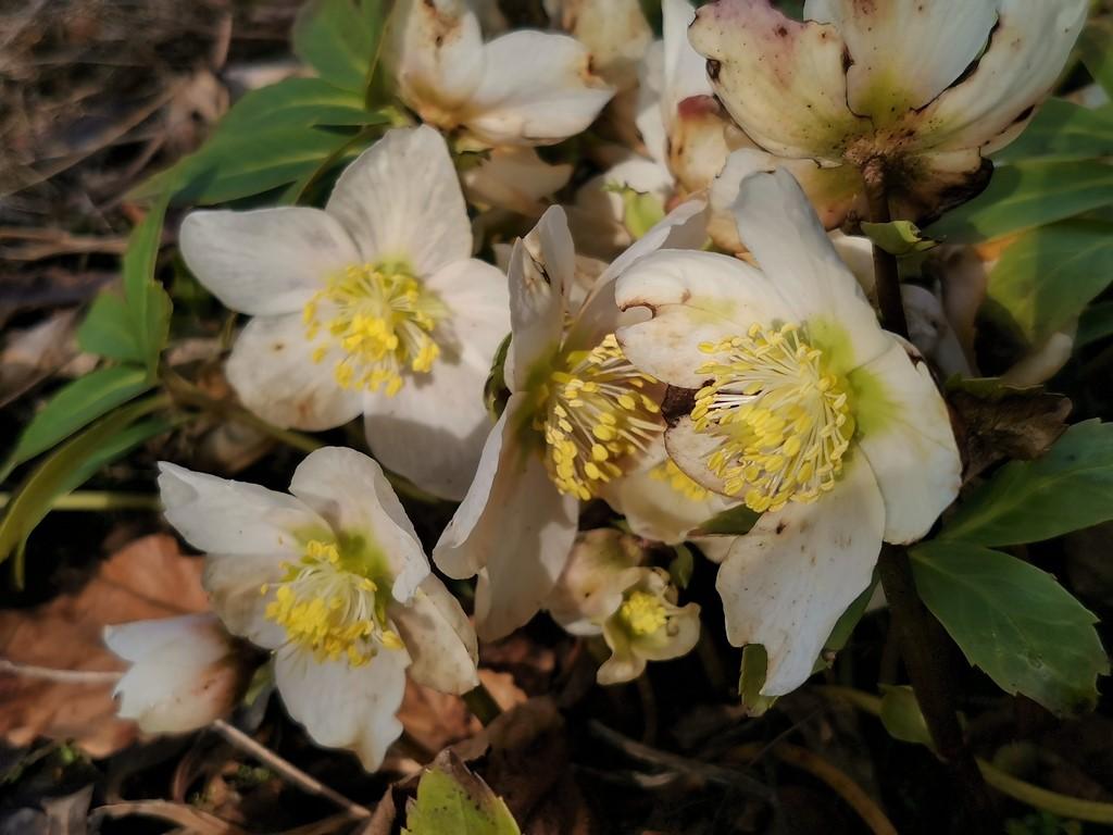 Erste Frühlingsboten im Garten und in Wald und Flur, Teil 2 Img_1127