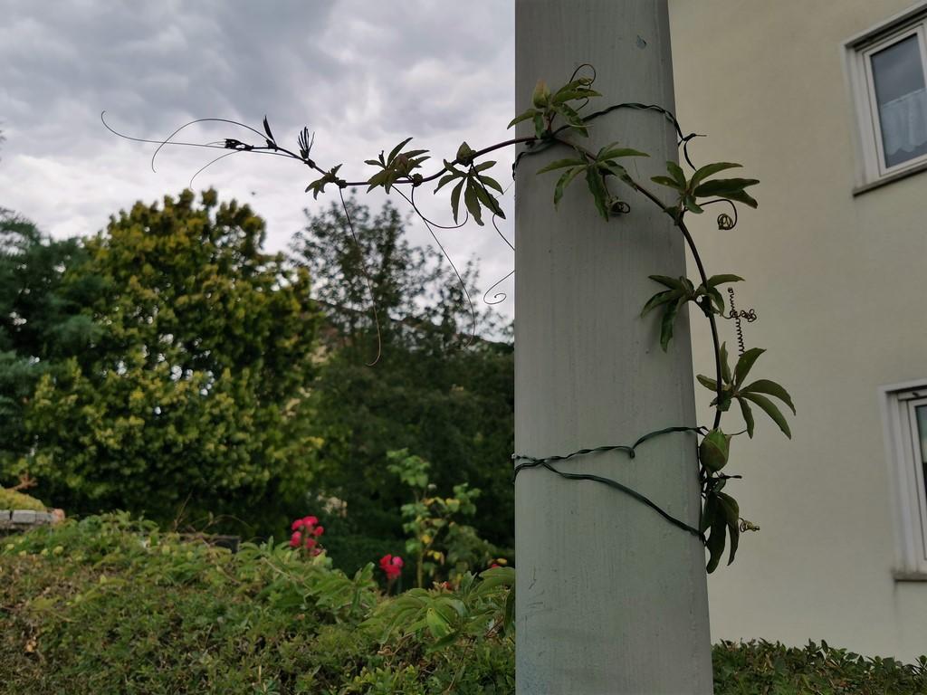 """Passiflora - Passionsblume - kleine """"Juwelen"""" - alles über Aussaat, Pflege, Vermehrung und natürlich Blütenbilder :) - Seite 34 Img_2594"""