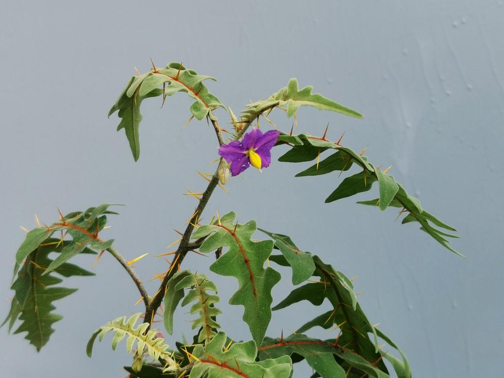 Solanaceae (Nachtschatten) - Tomaten & Chili, aber auch Petunien und andere Schönheiten - Seite 6 Img_2741