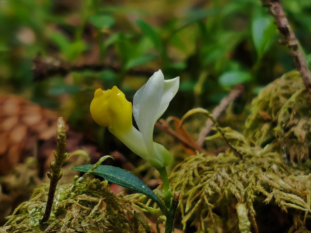 Kleine unbekannte Blüten im Wald - gelöst: Buchs-Kreuzblume (Polygala chamaebuxus) Unbek_12