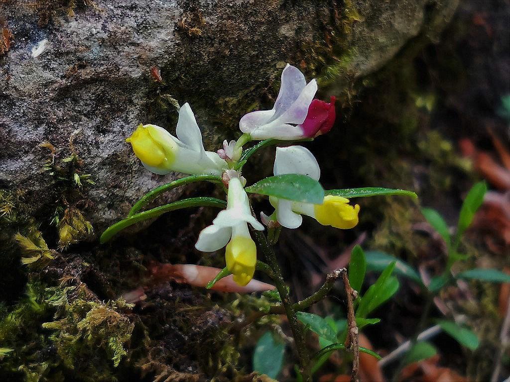 Kleine unbekannte Blüten im Wald - gelöst: Buchs-Kreuzblume (Polygala chamaebuxus) Unbek_13