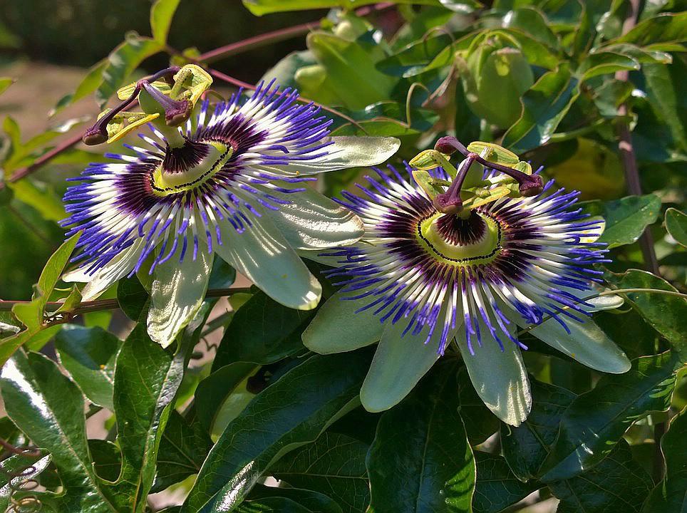 """Passiflora - Passionsblume - kleine """"Juwelen"""" - alles über Aussaat, Pflege, Vermehrung und natürlich Blütenbilder :) - Seite 28 Uploa230"""