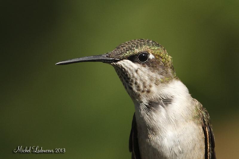 Colibri (femelle) W2_cop10
