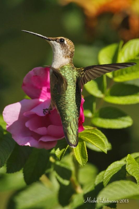 colibri à gorge rubis... W2_cop11