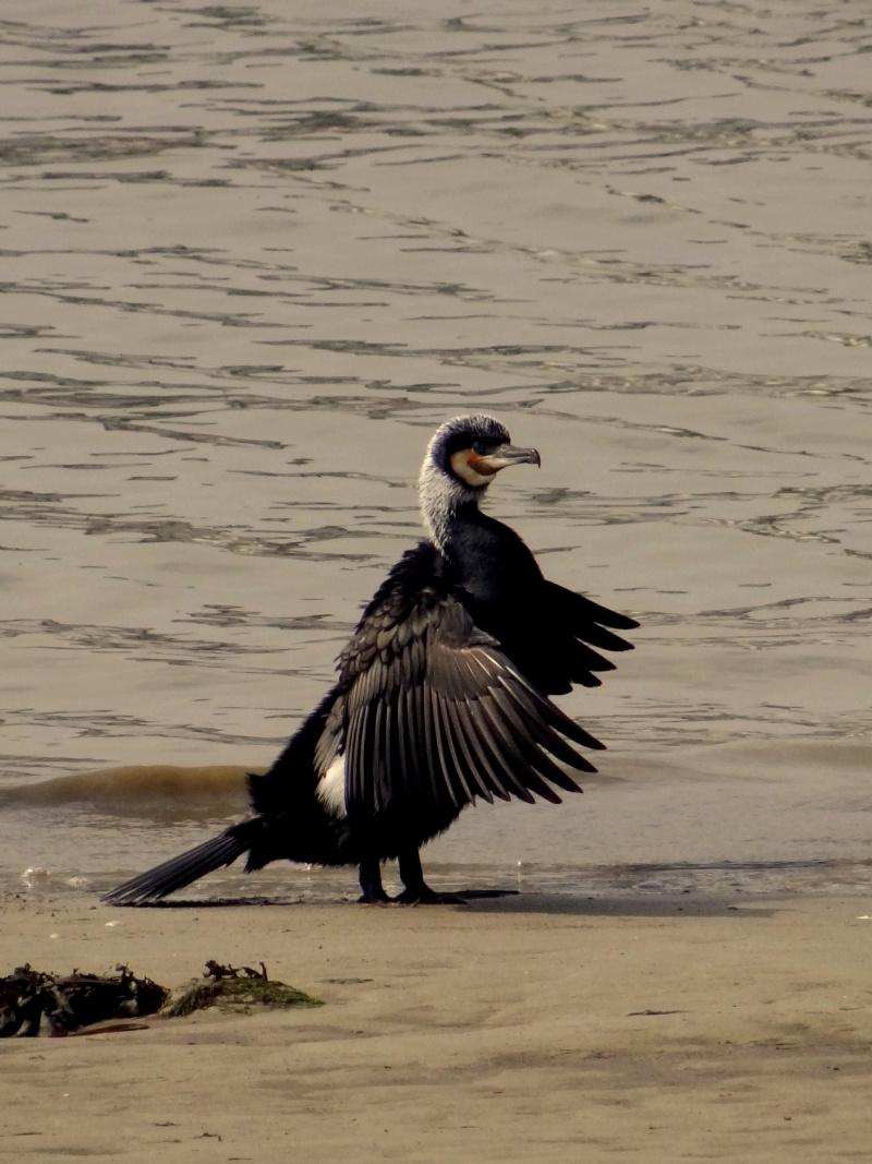 Grand cormoran 03811