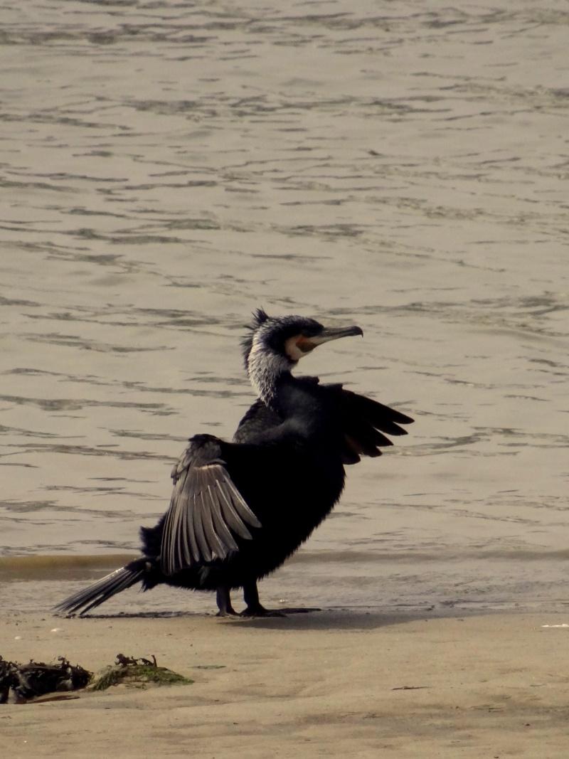 Grand cormoran 03910