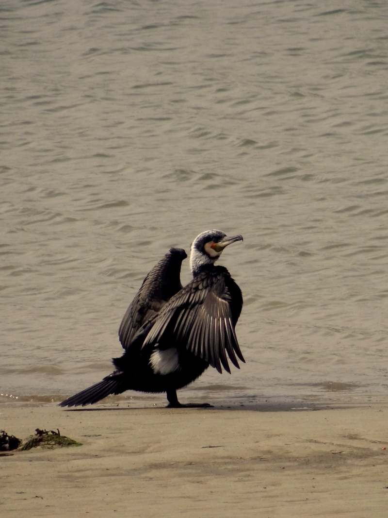 Grand cormoran 04810
