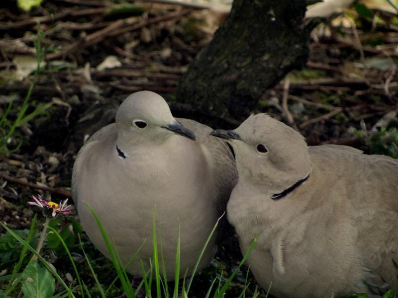 Tourterelles turques amoureuses 16510