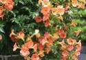 photos de graines de ligneux (arbres , arbustes, grimpantes ) Campsi10