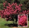 photos de graines de ligneux (arbres , arbustes, grimpantes ) Lagers10