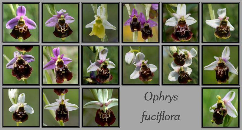 Ophrys fuciflora dans tous ses états.. Variab10
