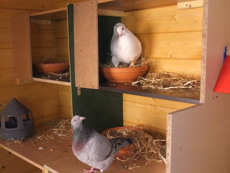 """presentation de mon couple de """"texan"""" Pigeon10"""