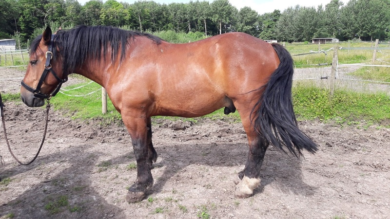 BEAUTY - Cheval de Trait Breton X Percheron - adopté en novembre 2011 par Sylvie  - Page 3 20180649