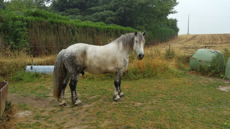 (60) ATHOS - Hongre Trait Percheron né en 2010 - NON MONTABLE - A ADOPTER (126 € + don libre) - Page 2 20180717