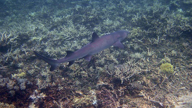 Comment corriger des photos sous-marines ? - Page 2 Requin10