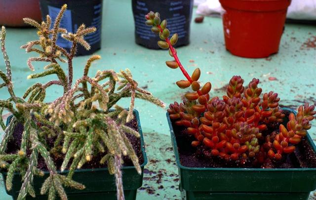 Rhipsalis pilocarpa, Sedum stahlii, Fenestraria ou Frithia (?), Parodia magnifica, Oreocereus trollii et ??  [id. non terminée] Cactus10