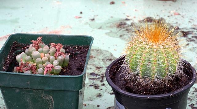 Rhipsalis pilocarpa, Sedum stahlii, Fenestraria ou Frithia (?), Parodia magnifica, Oreocereus trollii et ??  [id. non terminée] Cactus11