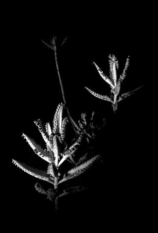 Kalanchoe et Bryophyllum - identifications [verrouillé] - Page 2 Dsc_0011