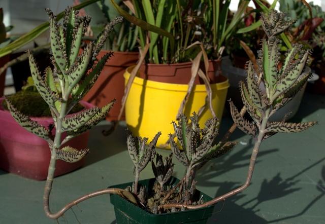 Kalanchoe et Bryophyllum - identifications [verrouillé] - Page 2 Kalanc10