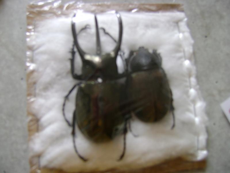 Présentation des collections Entomologiques - Page 6 Forum_11