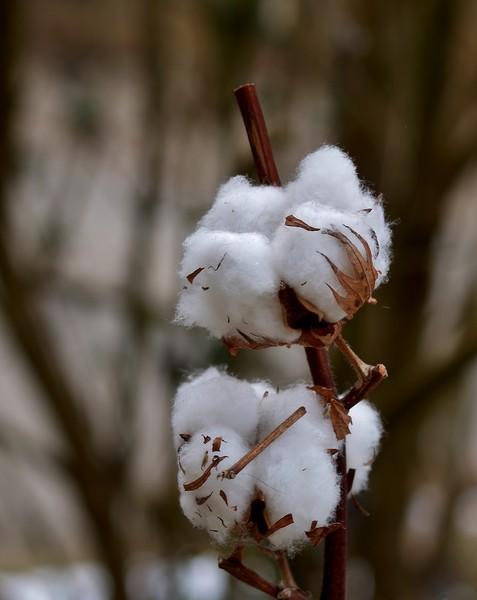 fleur de coton P2237010