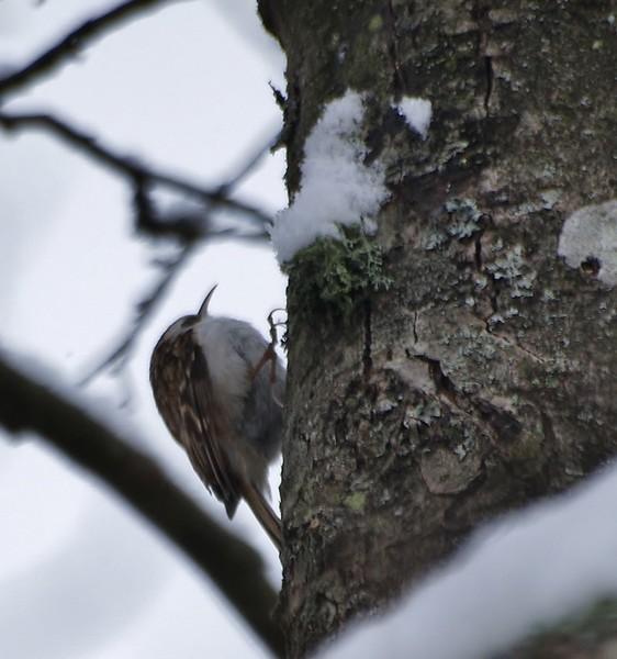 grimpereau des bois (anciennement jardins ) P2247010