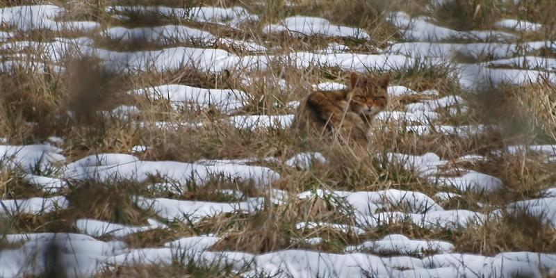 encore un chat sauvage P2267510