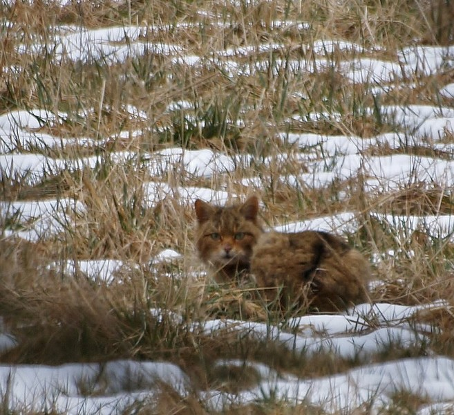encore un chat sauvage P2267511