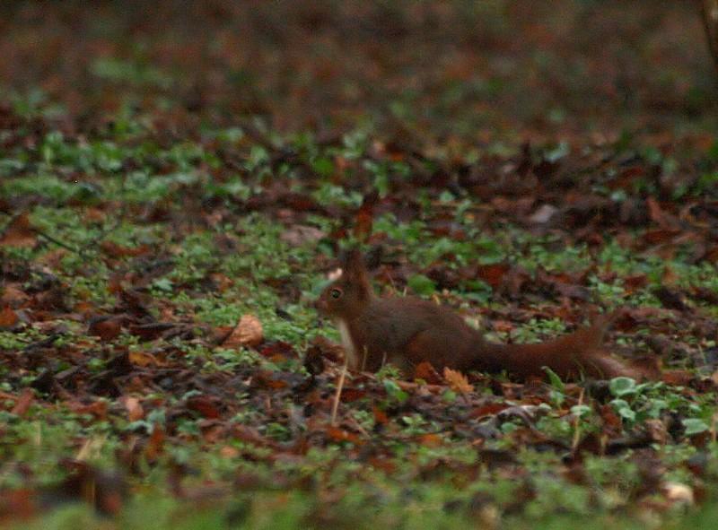 mon premier écureuil ( mmr ) P3190910