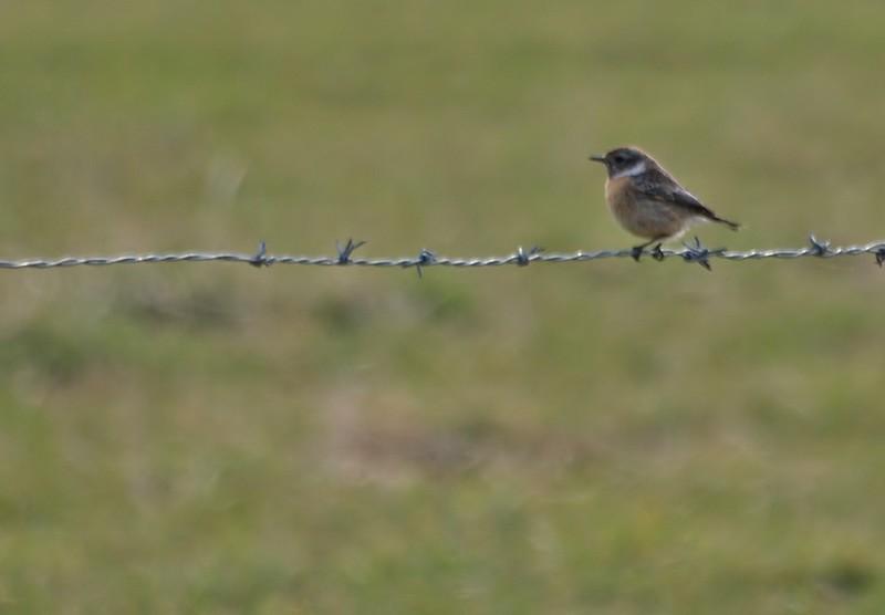 l'oiseau barbelé P3221612