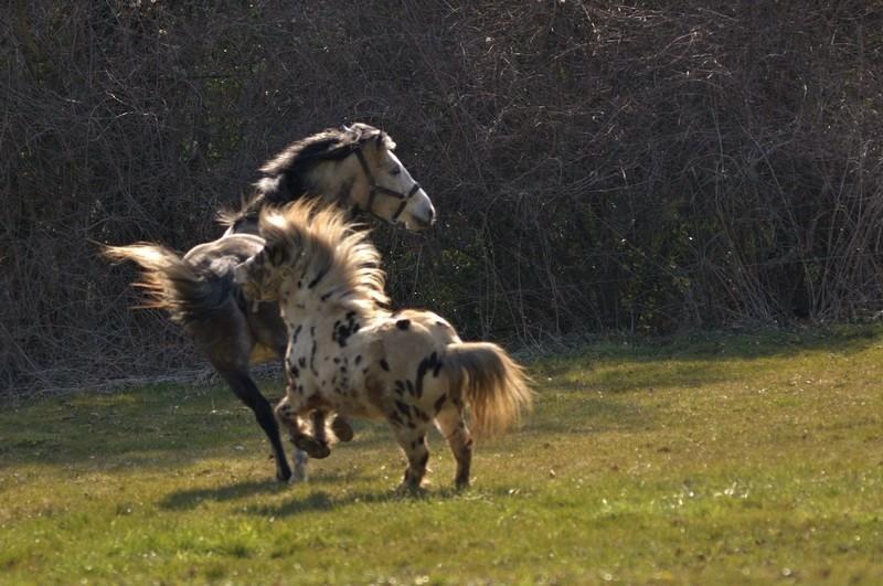 mes chevaux ( + grat-grat ) P4022310