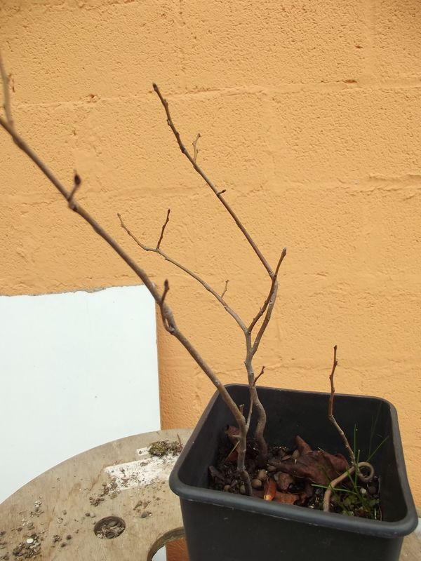 Piccoli bonsai crescono - Pagina 2 Dscf3474