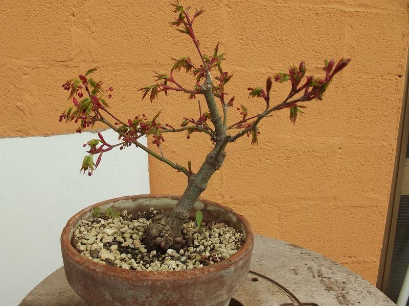 fiori di prunus spinosa Dscf3546