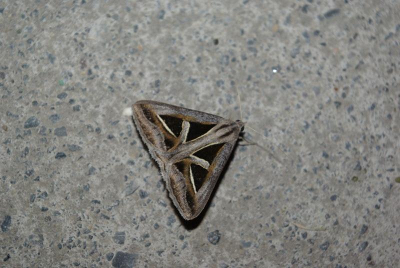 papillon géomètrique Imgp3511