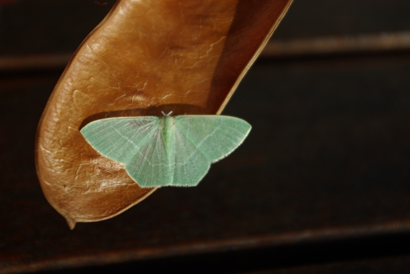 Papillon délicat Imgp3910