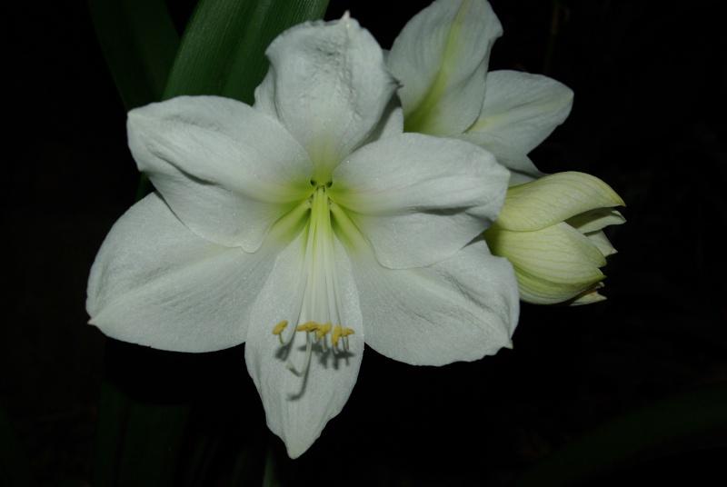 Amaryllis belladona Imgp5410
