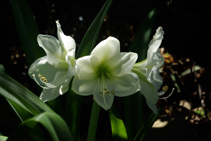 Amaryllis belladona Imgp5411