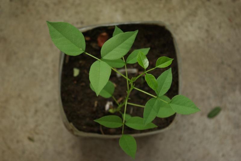 Erythrina crista-galli Imgp5620