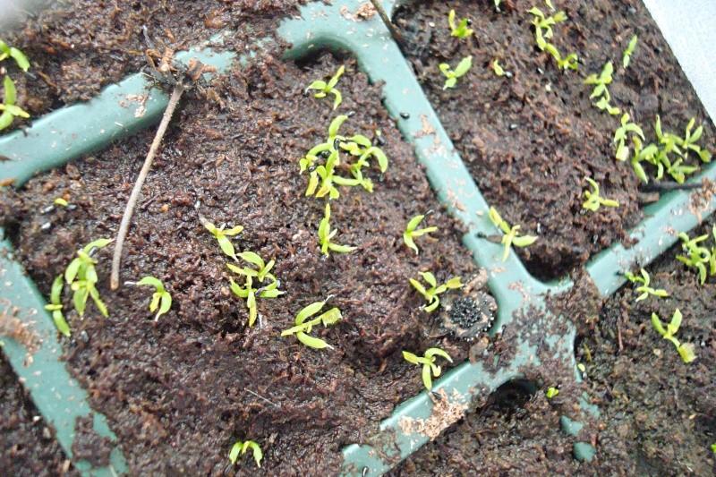 Suivi semis et germination Dionaea [Ted82] Dsc06118