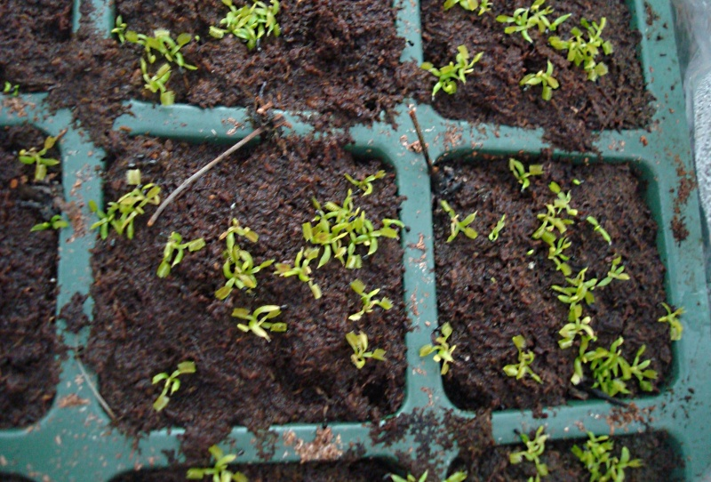 Suivi semis et germination Dionaea [Ted82] Dsc06313