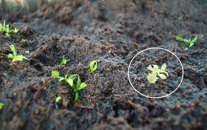 Suivi semis et germination Dionaea [Ted82] - Page 2 Hermin10