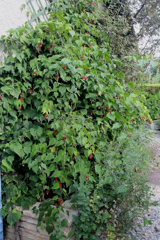 Abutilon megapotamicum Abutil10