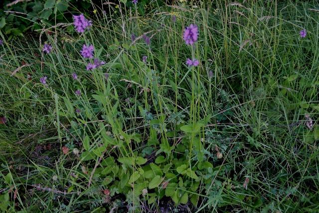 Stachys officinalis - épiaire officinale, bétoine Fleur_10