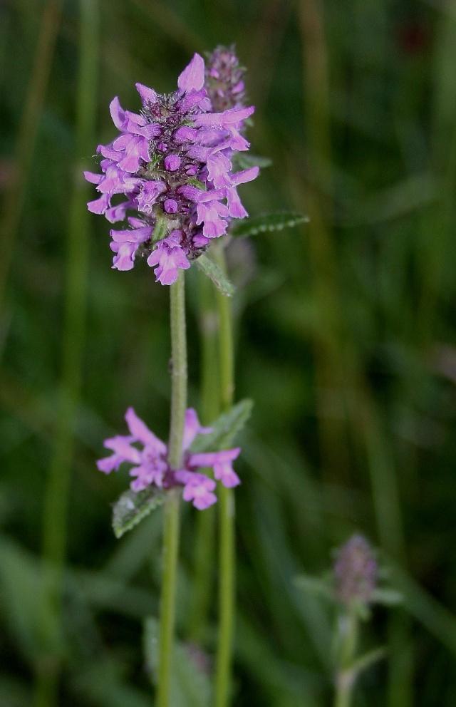 Stachys officinalis - épiaire officinale, bétoine Fleur_12