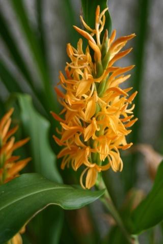 Hedychium - le genre Hadich10