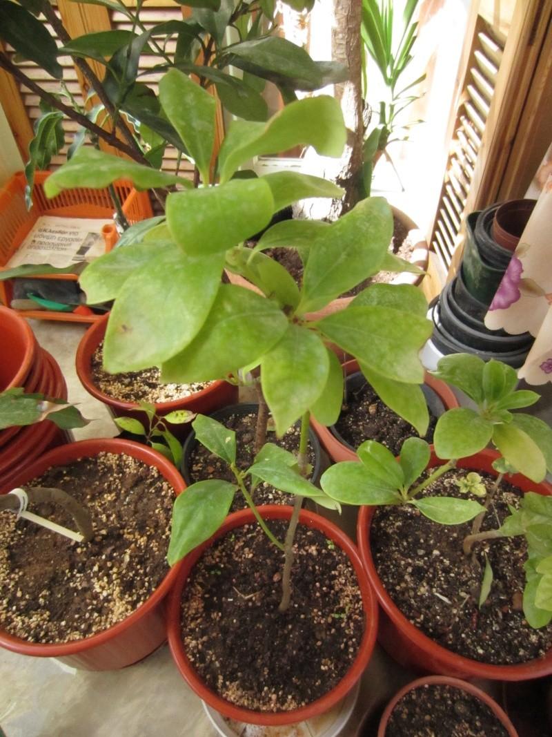 [Illiciaceae] Illicium verum, anis etoilé quelle region?!!! - Page 2 Img_7110